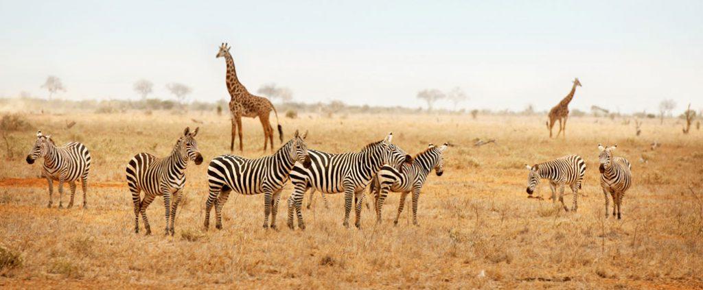 Safari in Nairobi National park
