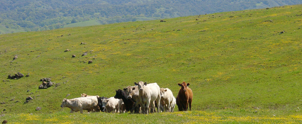 Cattle in the parks and reserves