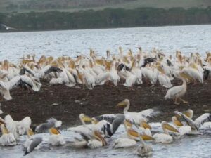 Pelicans, Lake Nakuru National park