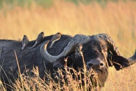 Buffalo in Masai Mara