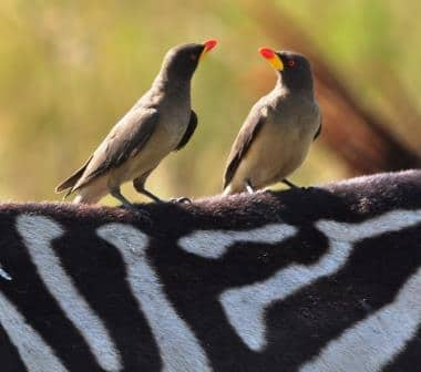 Oxpeckers, camping in Kenya safaris