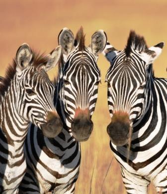 Zebras, Kenya safari