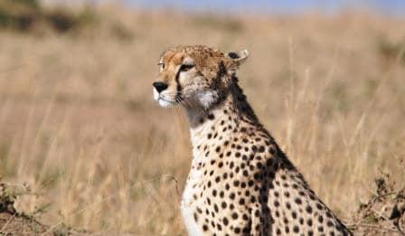Cheetah, Masai Mara safari