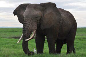 African Elephant, Kenya safari