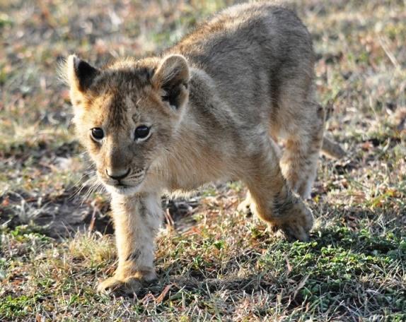 Lions cub, Masai Mara budget safari